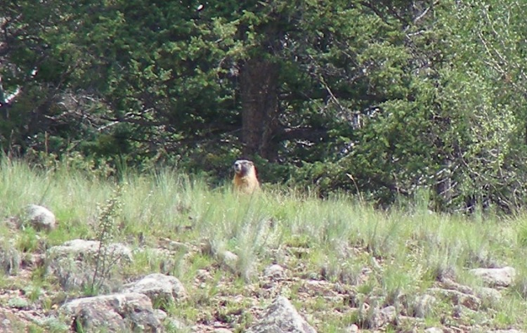 Depends on who you ask, this guy was a ground hog, wood chuck or marmot...