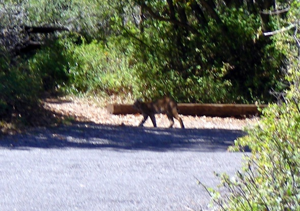 Sunday morning as we read our Bibles and studied the Word of God, He blessed us with this Bobcat and her two kittens. They were hunting and walked right through our camp with their brunch. Sadly, the mom had Henry, the chipmunk (named by Norm) as her meal. Henry looked like he had been eating at the kings table too long and lost his edge. This is the only shot I could get. They would stop just long enough to get the camera up...