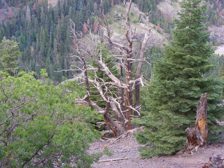 We think dead trees are pretty cool and there were a lot of them on this trail. This was the king of the dead trees...