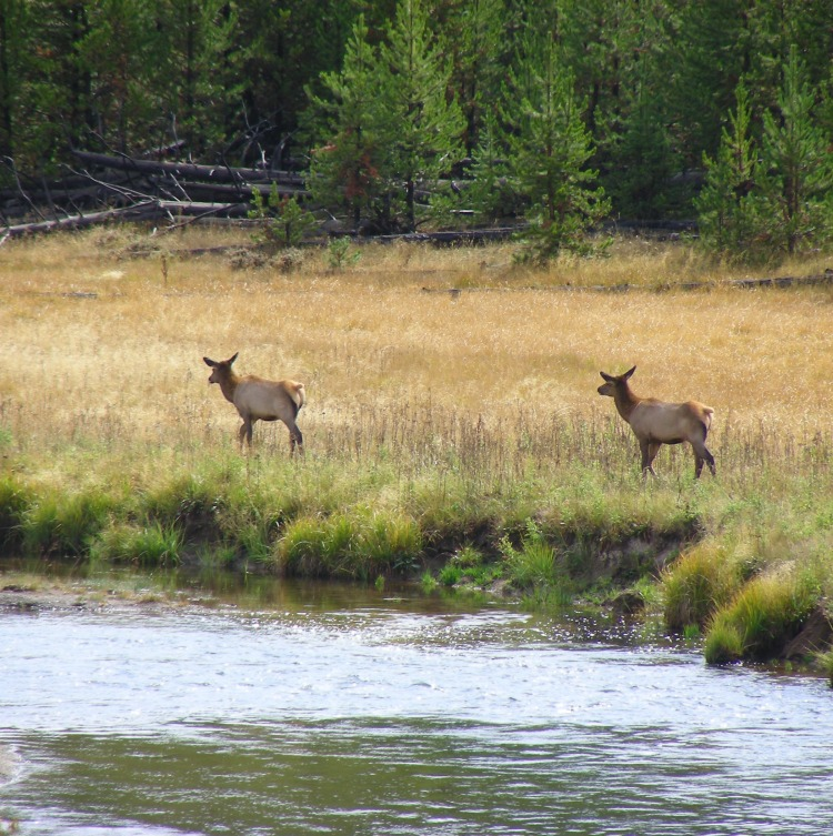 Yellowstone and elk, they kind of go together...