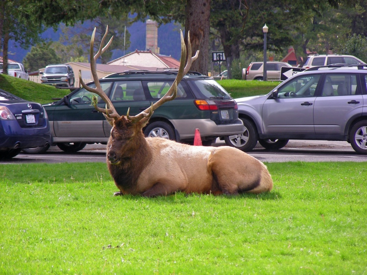 This big guy and his extended family caused a big ruckus on our way out of Yellowstone park. Traffic clogged, rangers and park volunteers running around, yelling at people to get up on the side walk, keep moving, don't stop to take pictures. As Norm said, it was almost as much fun watching the people as it was seeing the elk...