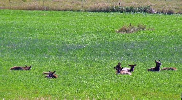On our way to Meeteetse Wyoming we see more elk...