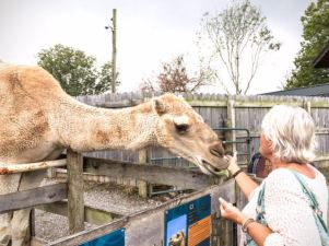 Norm got to feed a camel! He had some big lips, and bad breath... but, he seemed like a nice camel...